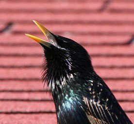 Pest Elimination: the European or Common Starling